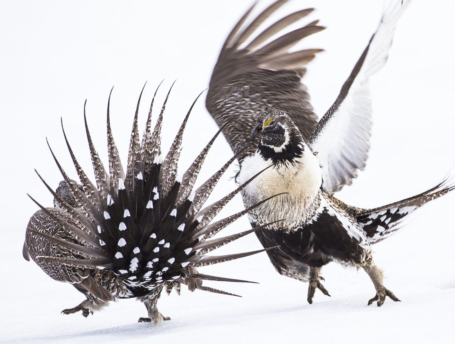 Professional Winner: Greater Sage Grouse