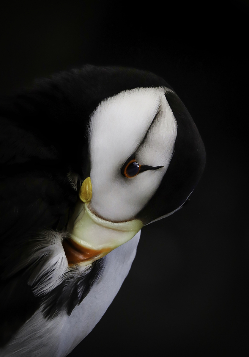 Youth Winner: Horned Puffin
