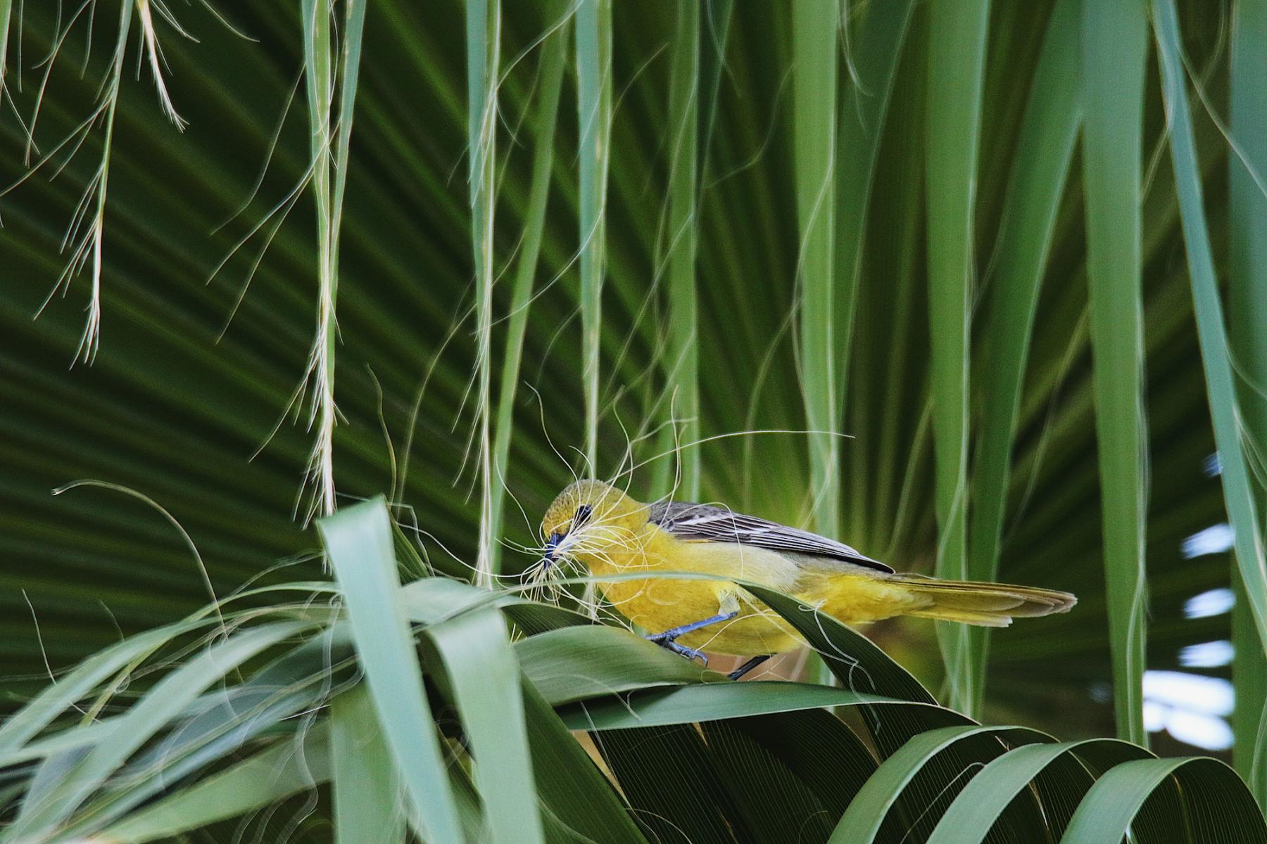 Plants For Birds Winner: Hooded Oriole on a California fan palm
