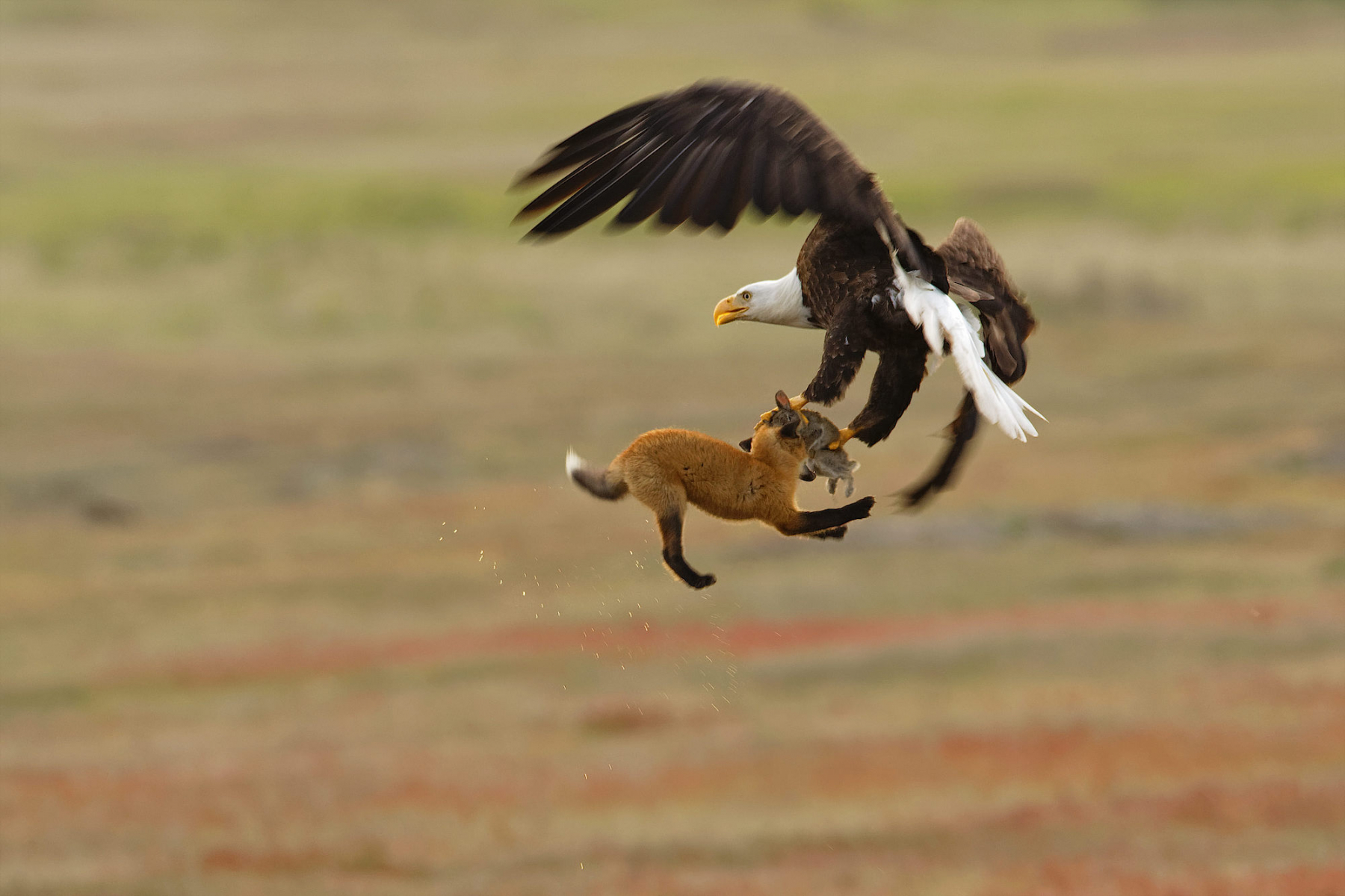Professional Honorable Mention: Bald Eagle and red fox tussling over rabbit