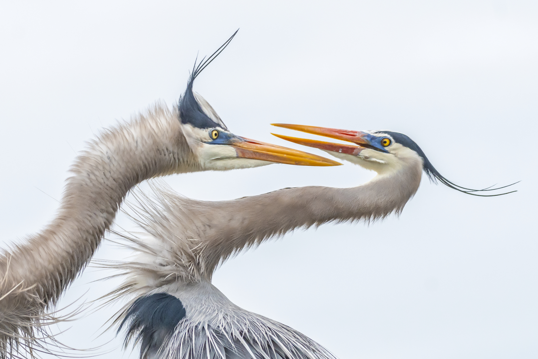 Amateur Honorable Mention: Great Blue Herons