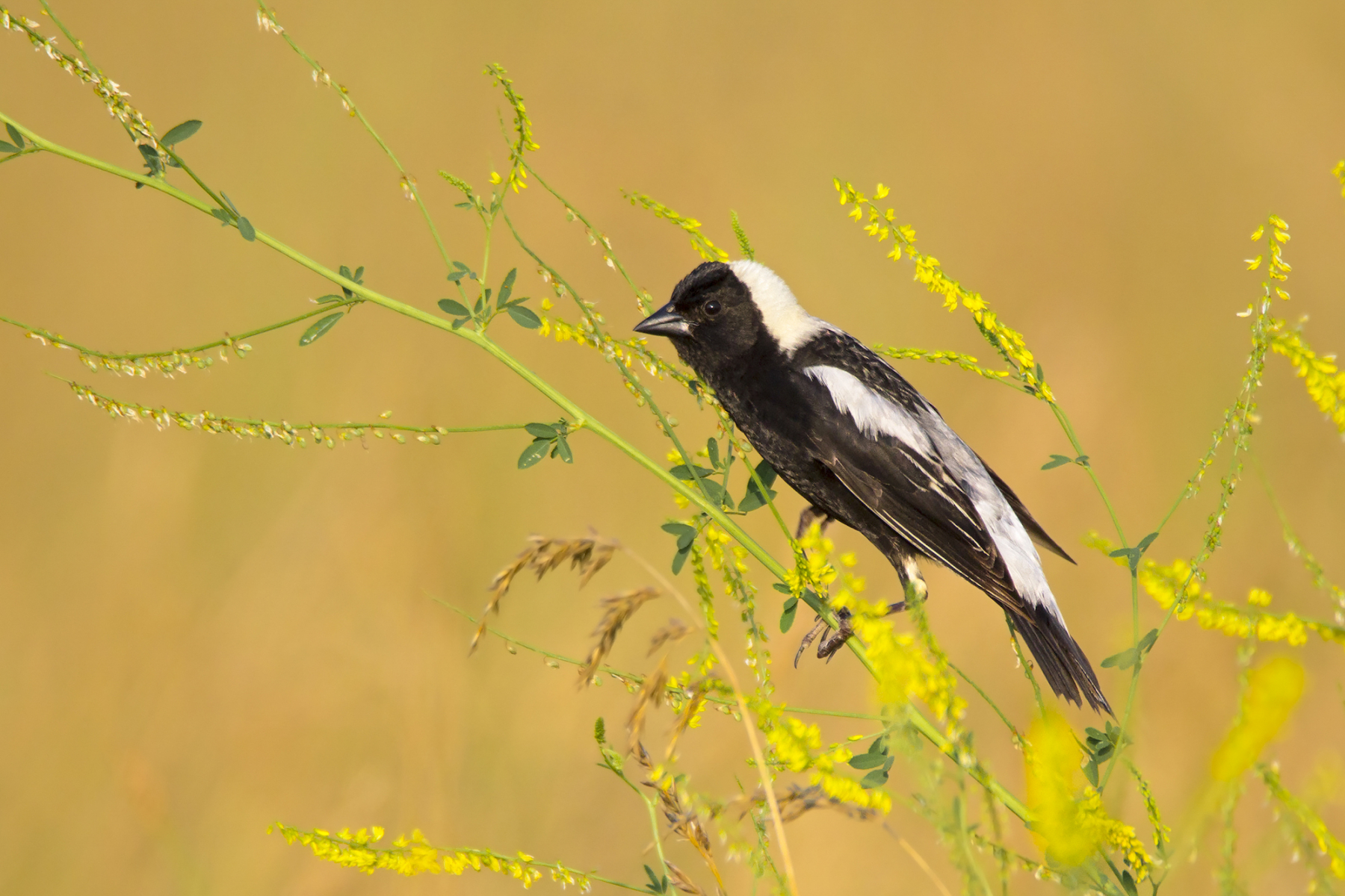 Youth Honorable Mention: Bobolink
