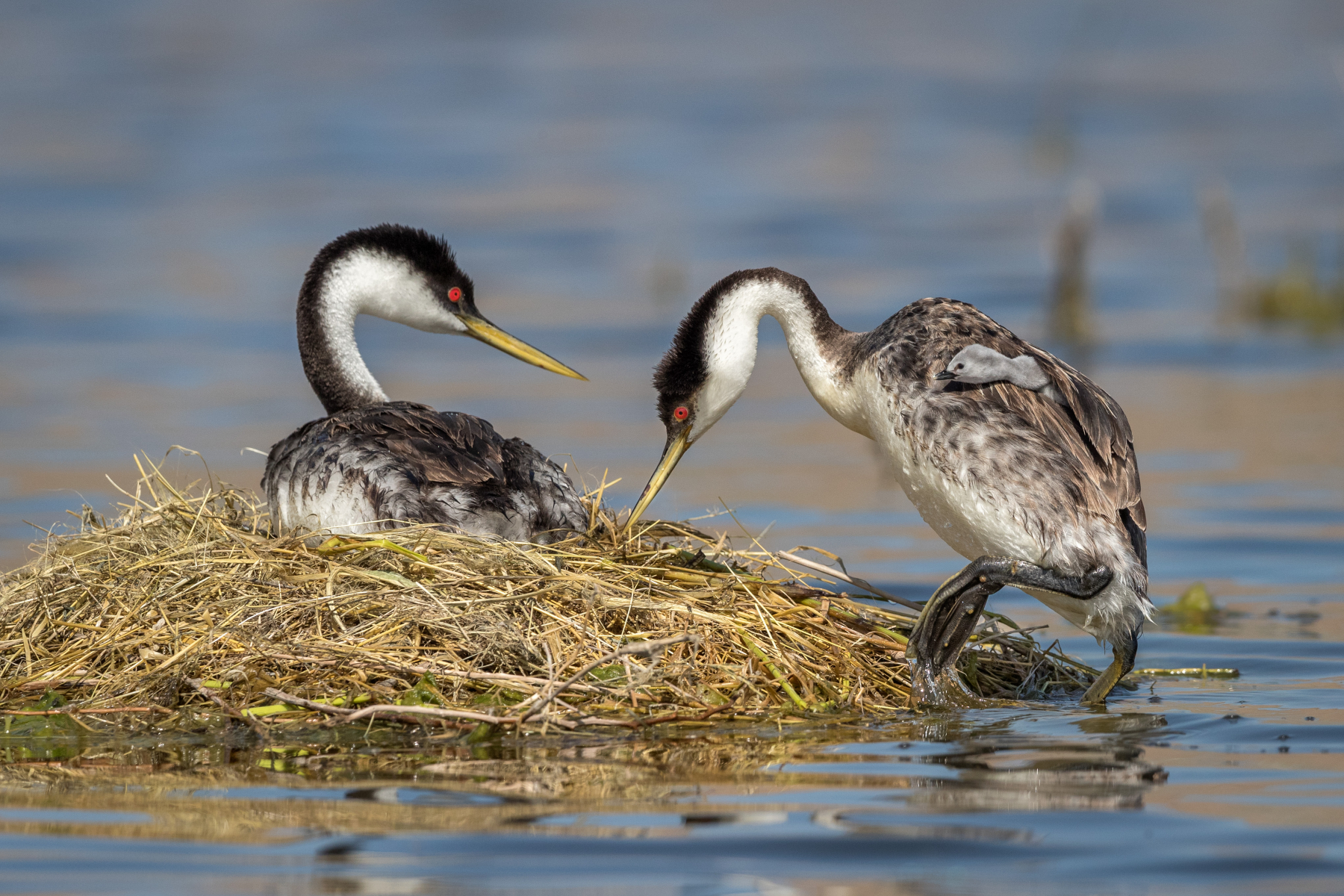 Second place: Western Grebes