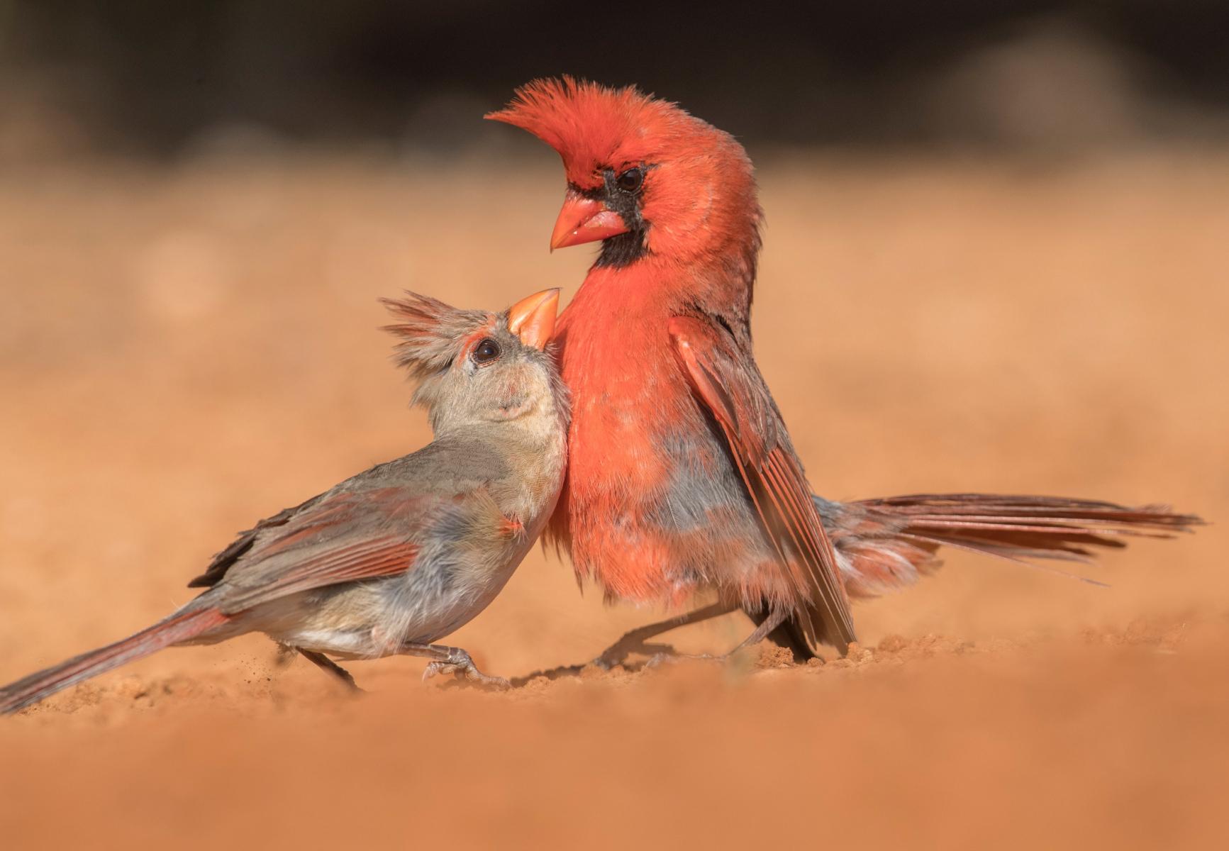 Third place: Northern Cardinals