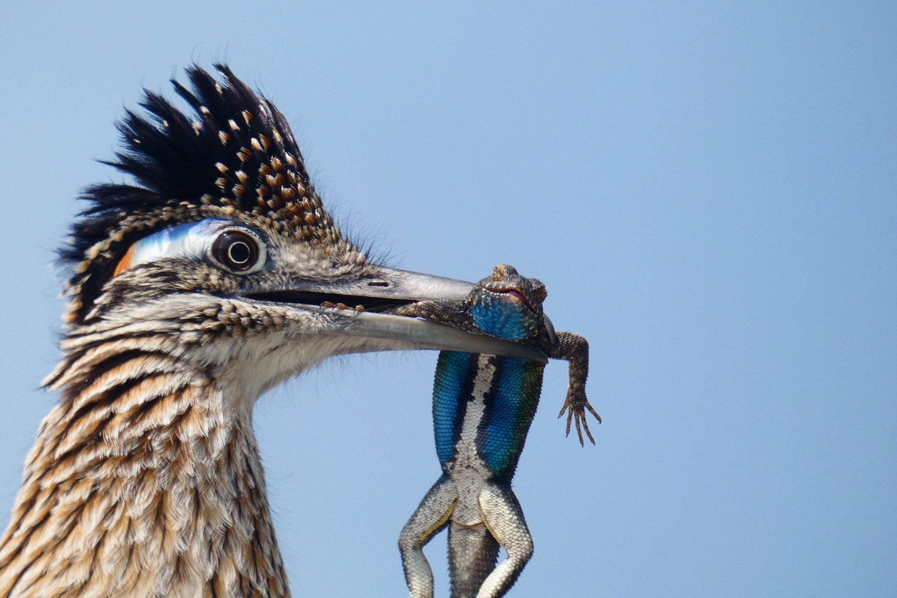 Youth Honorable Mention: Greater Roadrunner