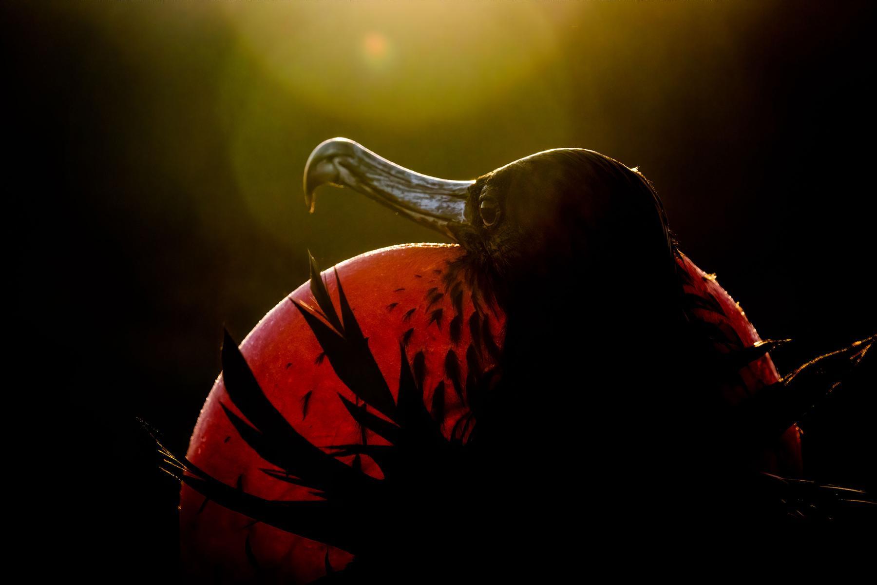 Professional Winner: Magnificent Frigatebird