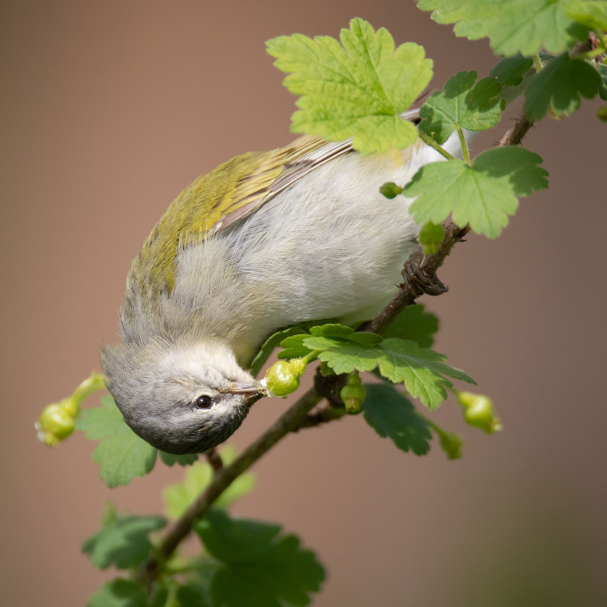 Plants For Birds Honorable Mention: Tennessee Warbler on an eastern prickly gooseberry