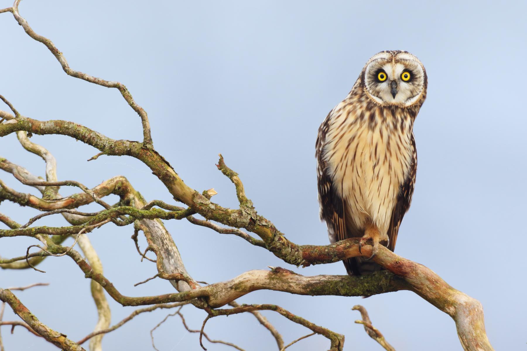 Short-eared Owl by Ken Archer