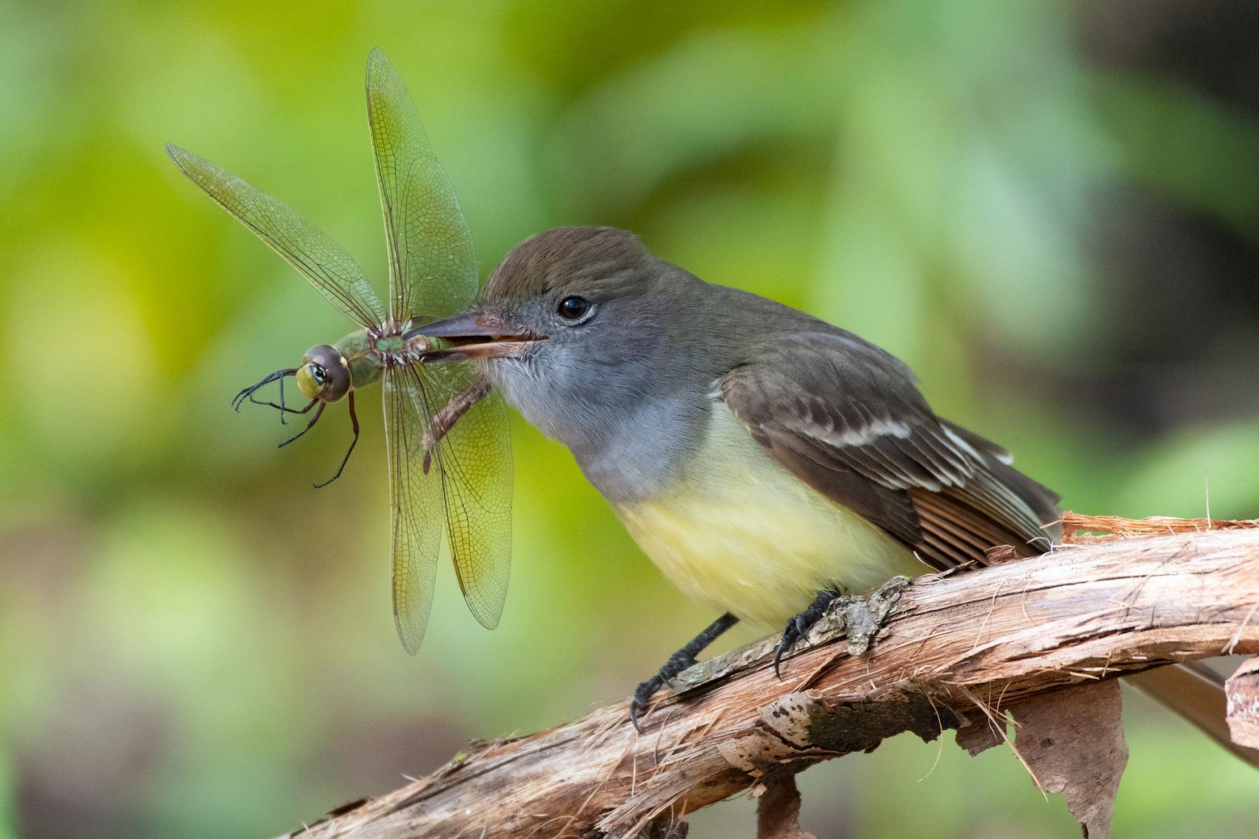 Great Crested Flycatcher by Michael Spleha