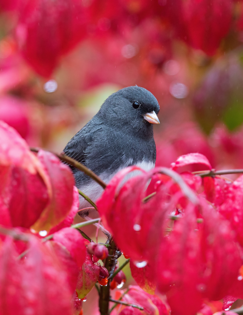 Dark-eyed Junco by Christopher Ciccone