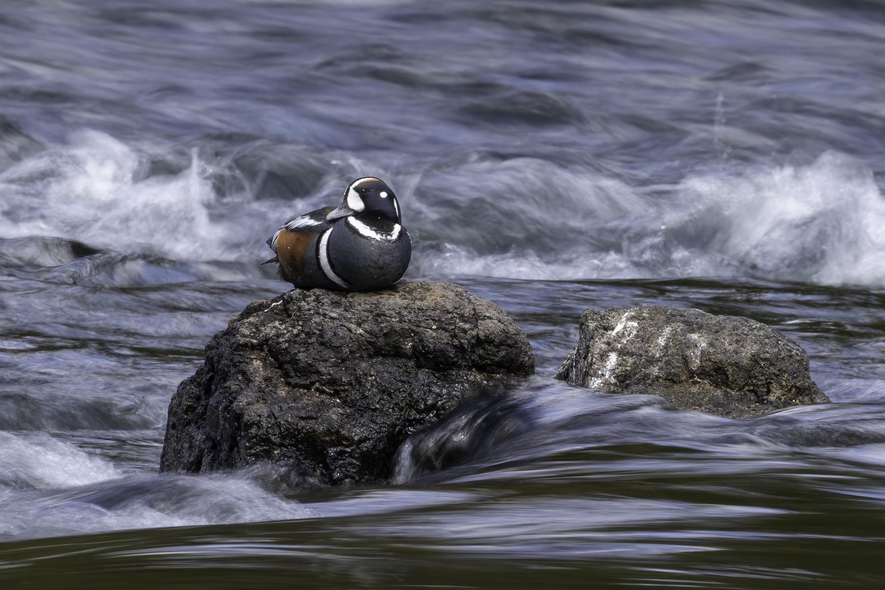 Harlequin Duck by John Carelli