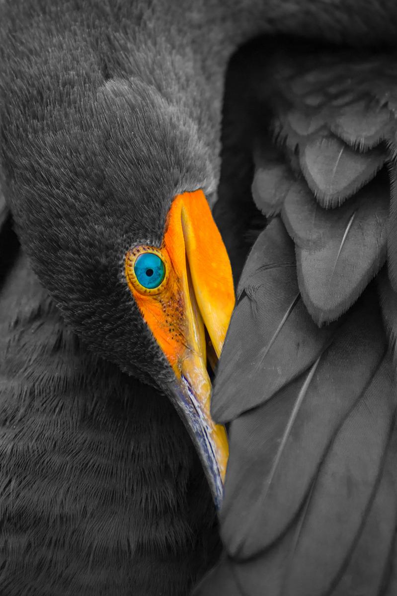 Double-crested Cormorant by Lorri Freedman