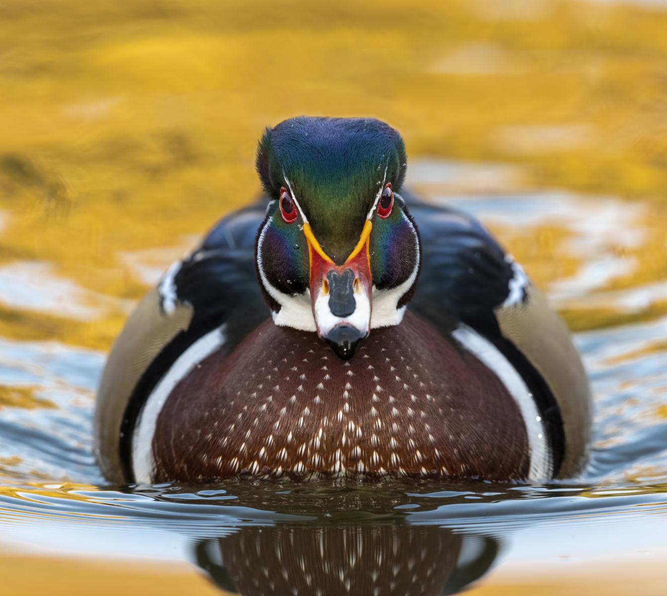 Wood Duck by Vaugh Larsen