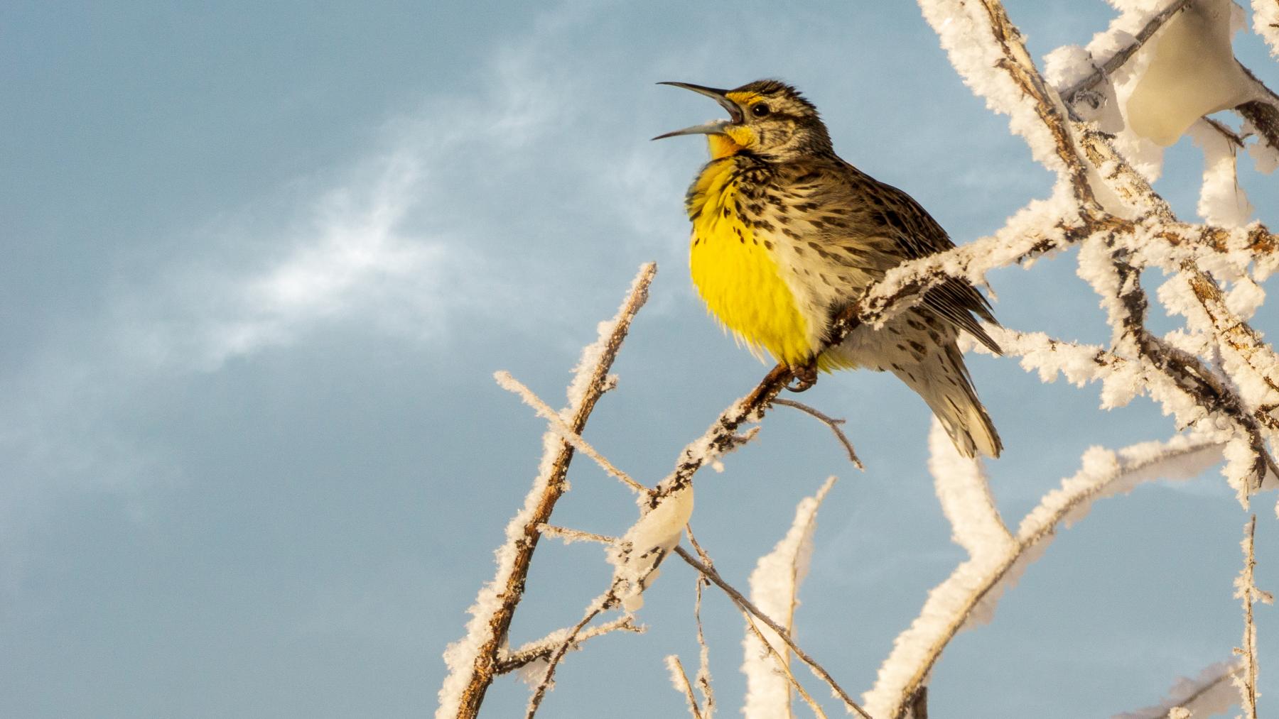 Western Meadowlark by Jennifer Coombes