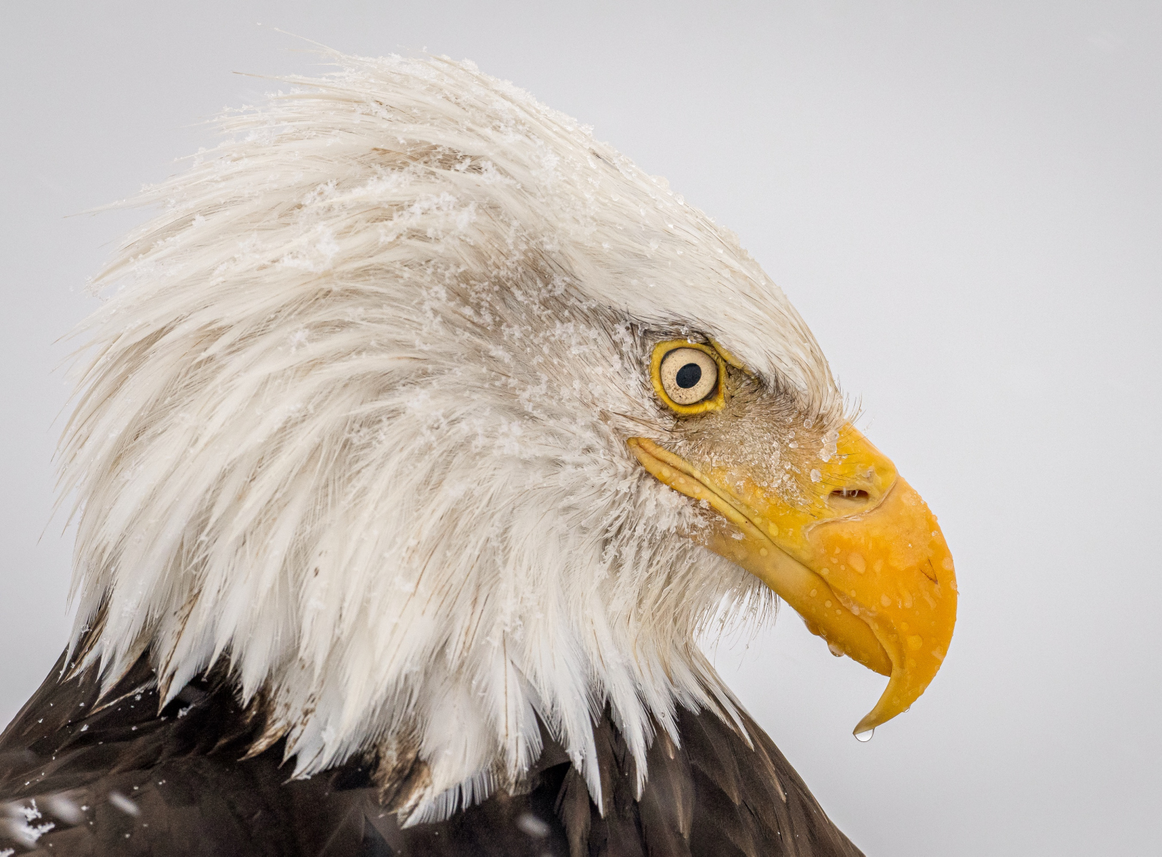 Bald Eagle by Stan Bysshe