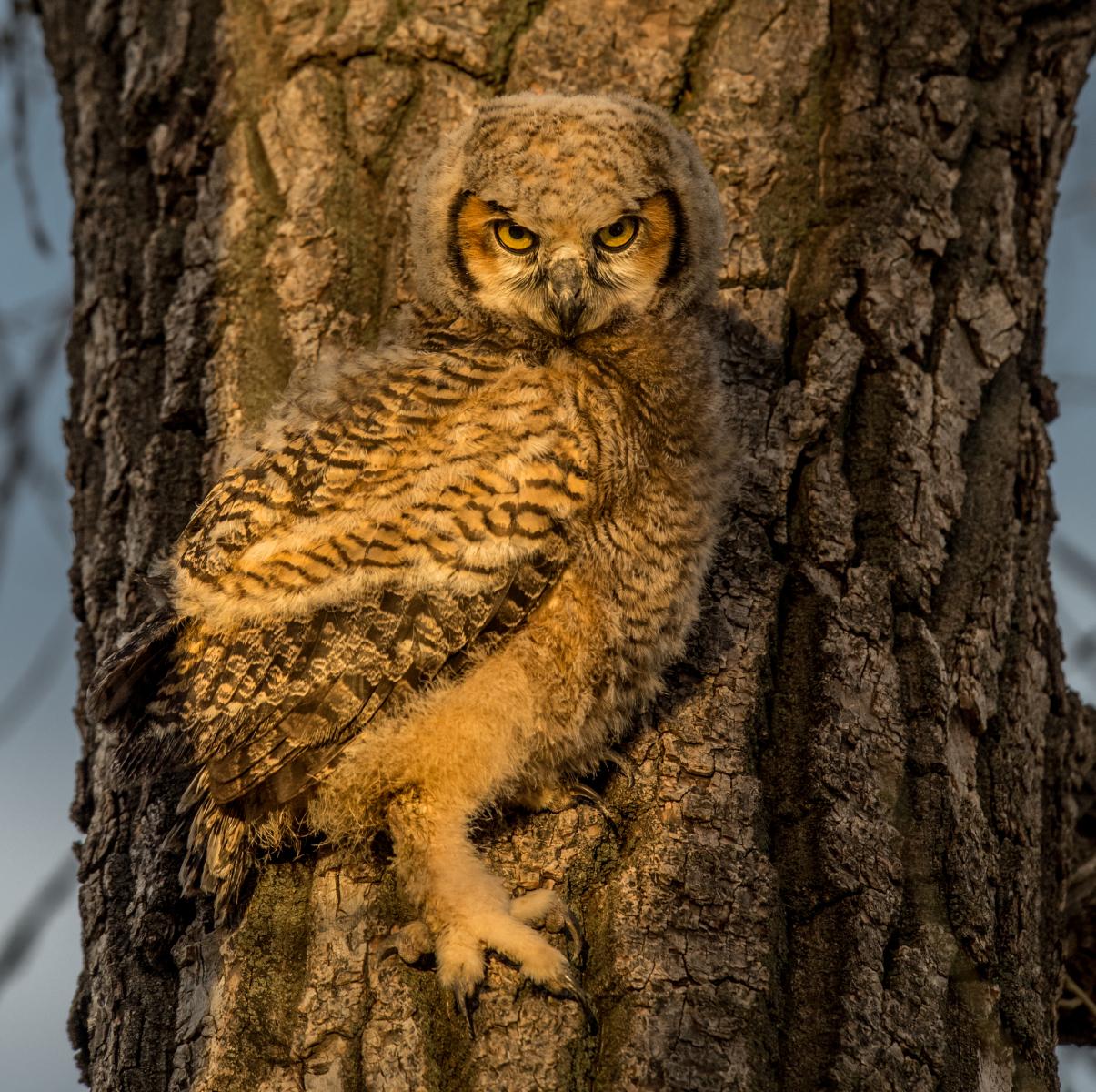 Great Horned Owl by Scott Wilson