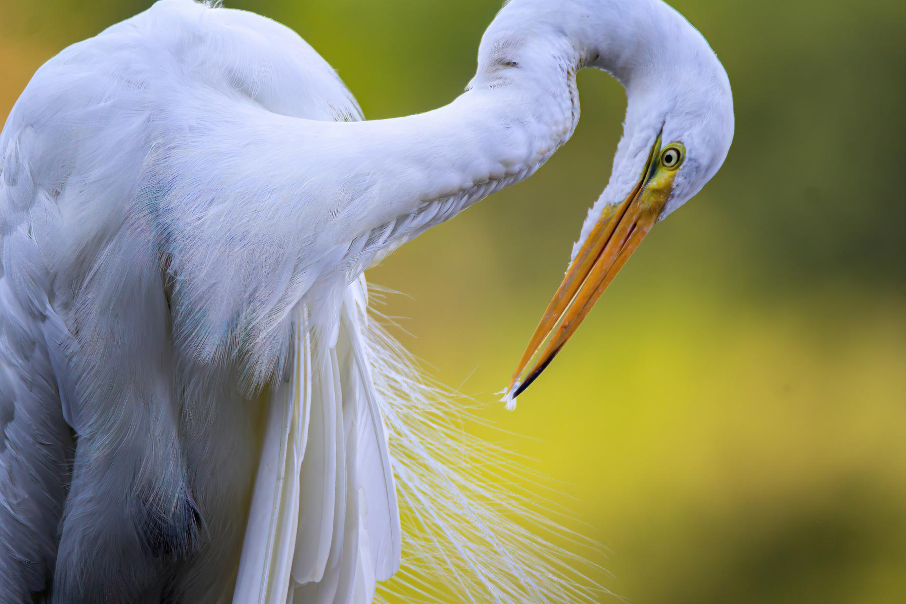 Great Egret by Robert Katz