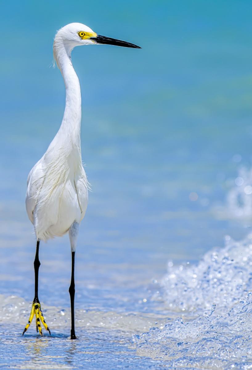 Snowy Egret by Conrad Peloquin