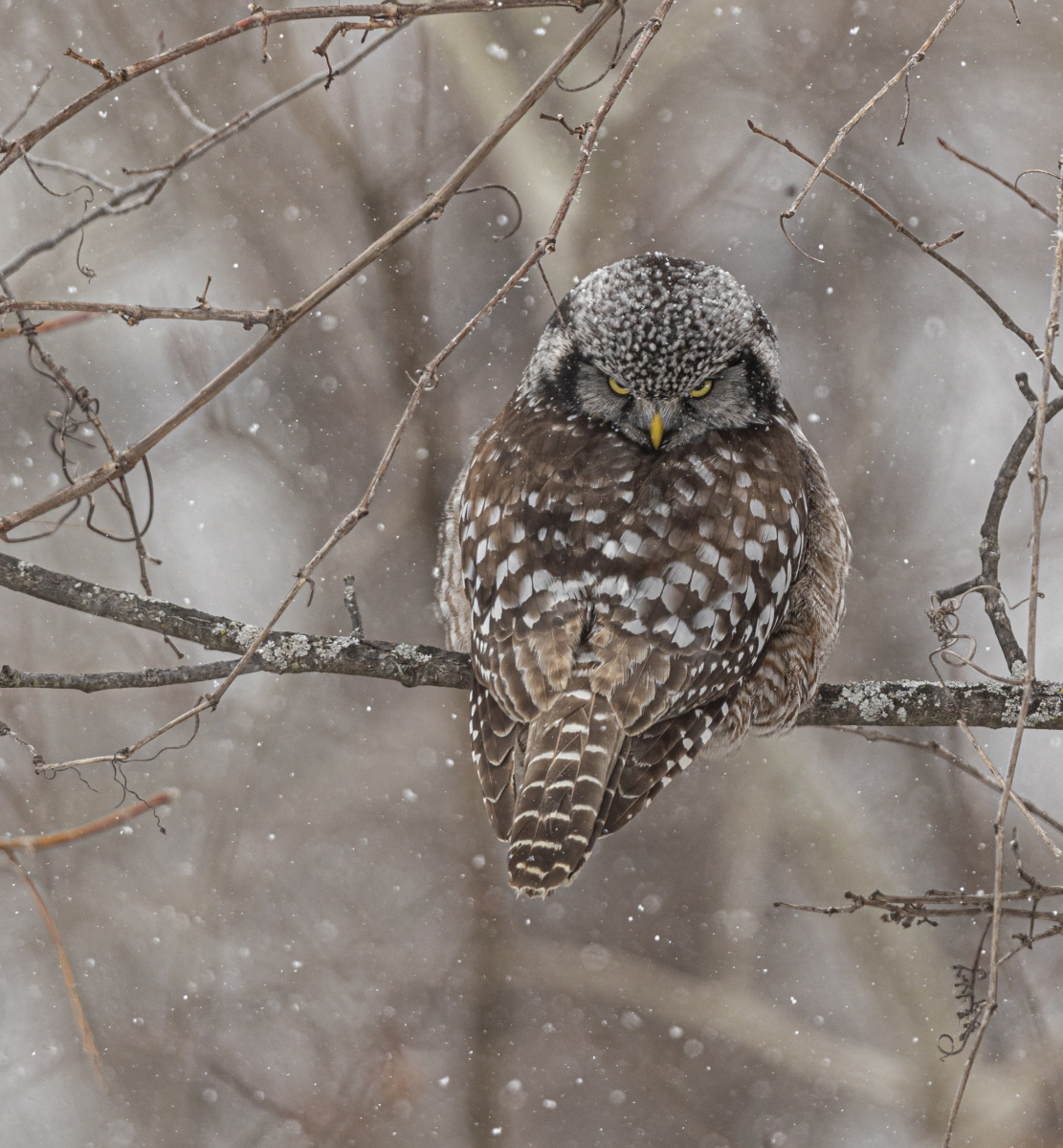 Northern Hawk Owl by Mary Lundeberg