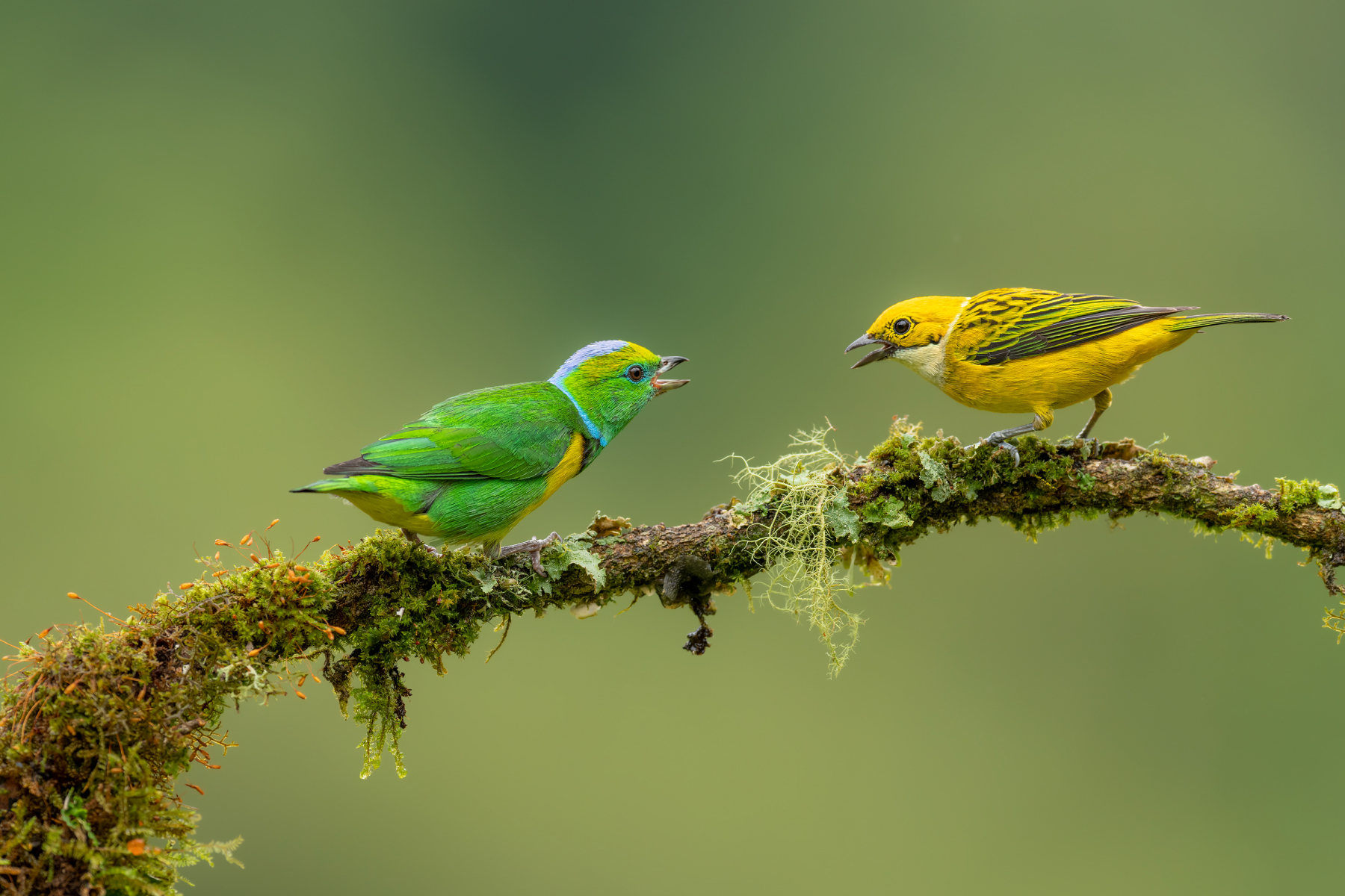 Golden-browed Chlorophonia and Silver-throated Tanager