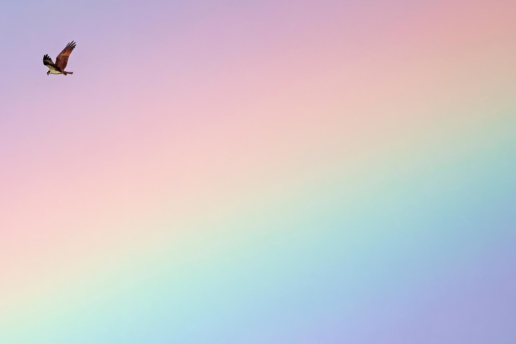 Osprey flies through a rainbow