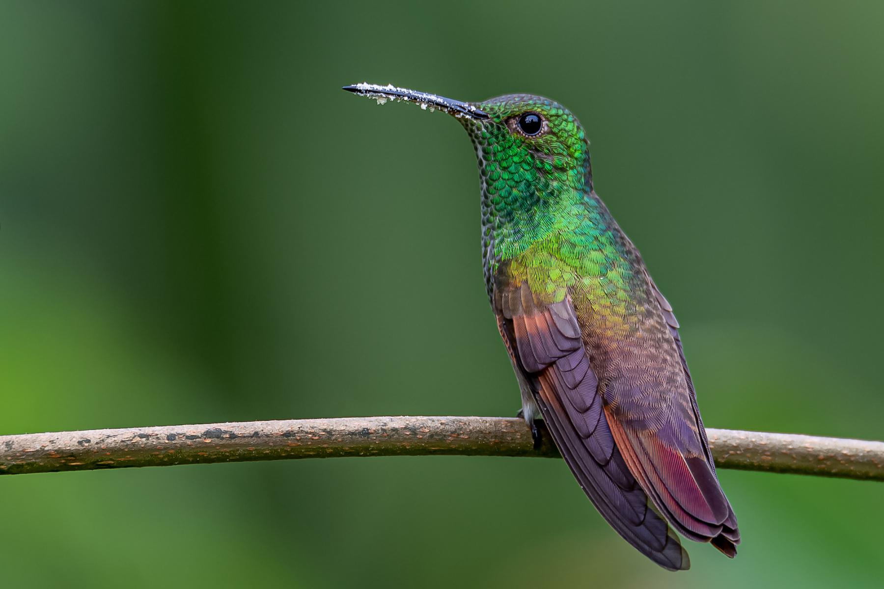 Berylline Hummingbird by Ric Chamblee