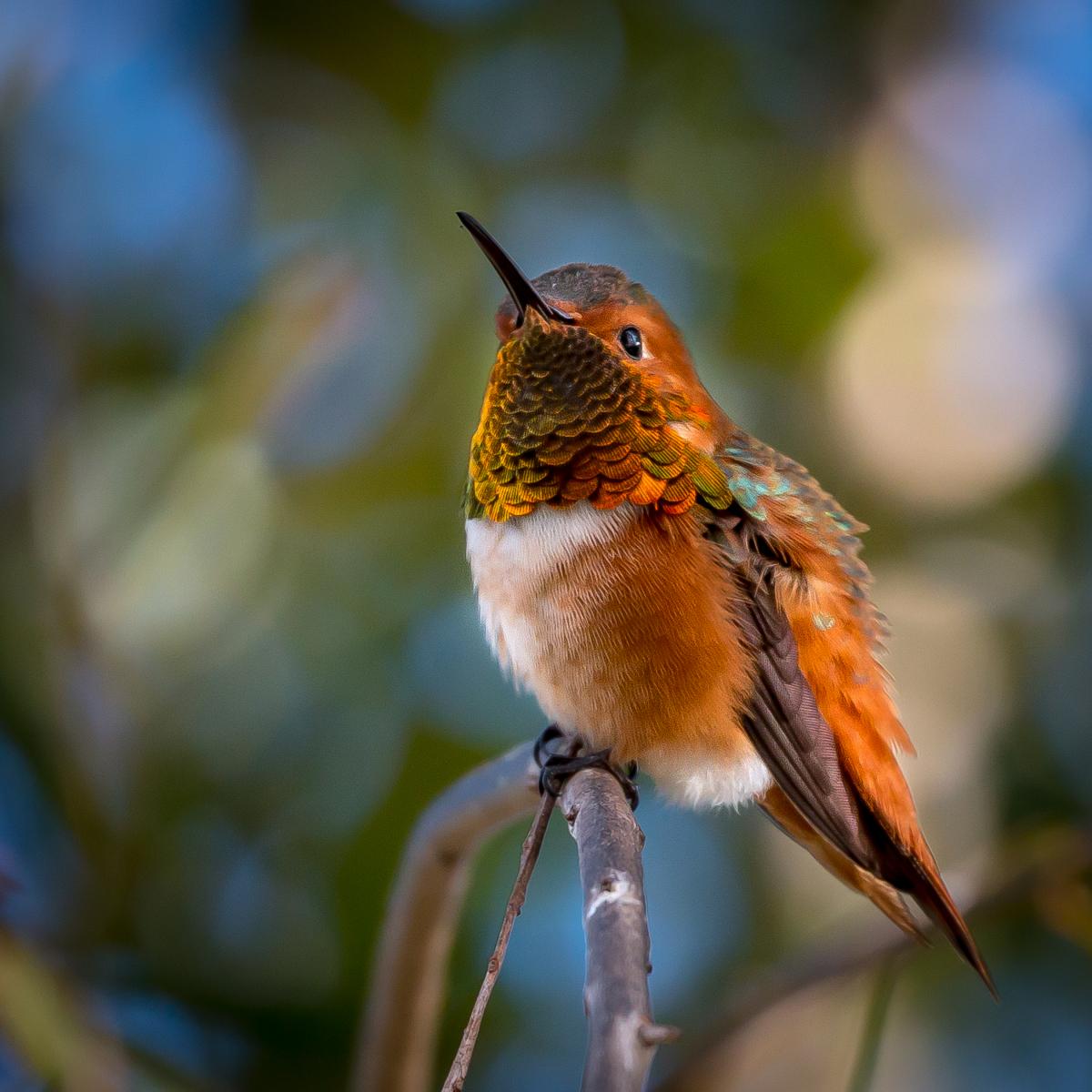 Allen's Hummingbird by Barbi Lawrence