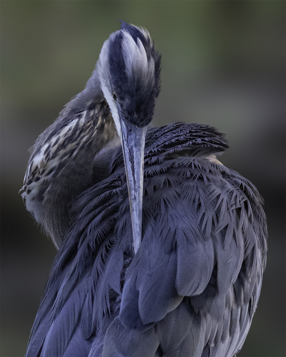 Great Blue Heron by Val Blakely