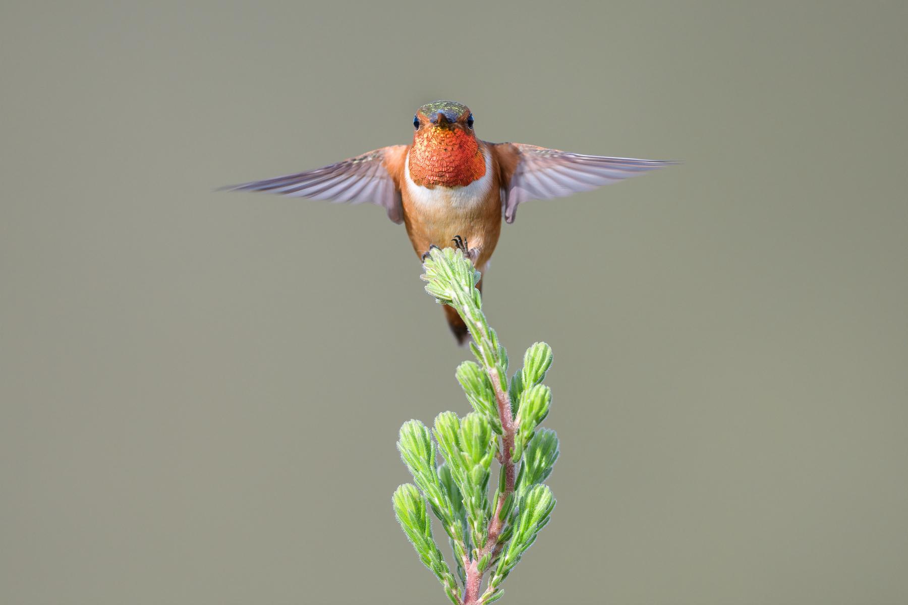 Allen's Hummingbird by Jacqueline Deely