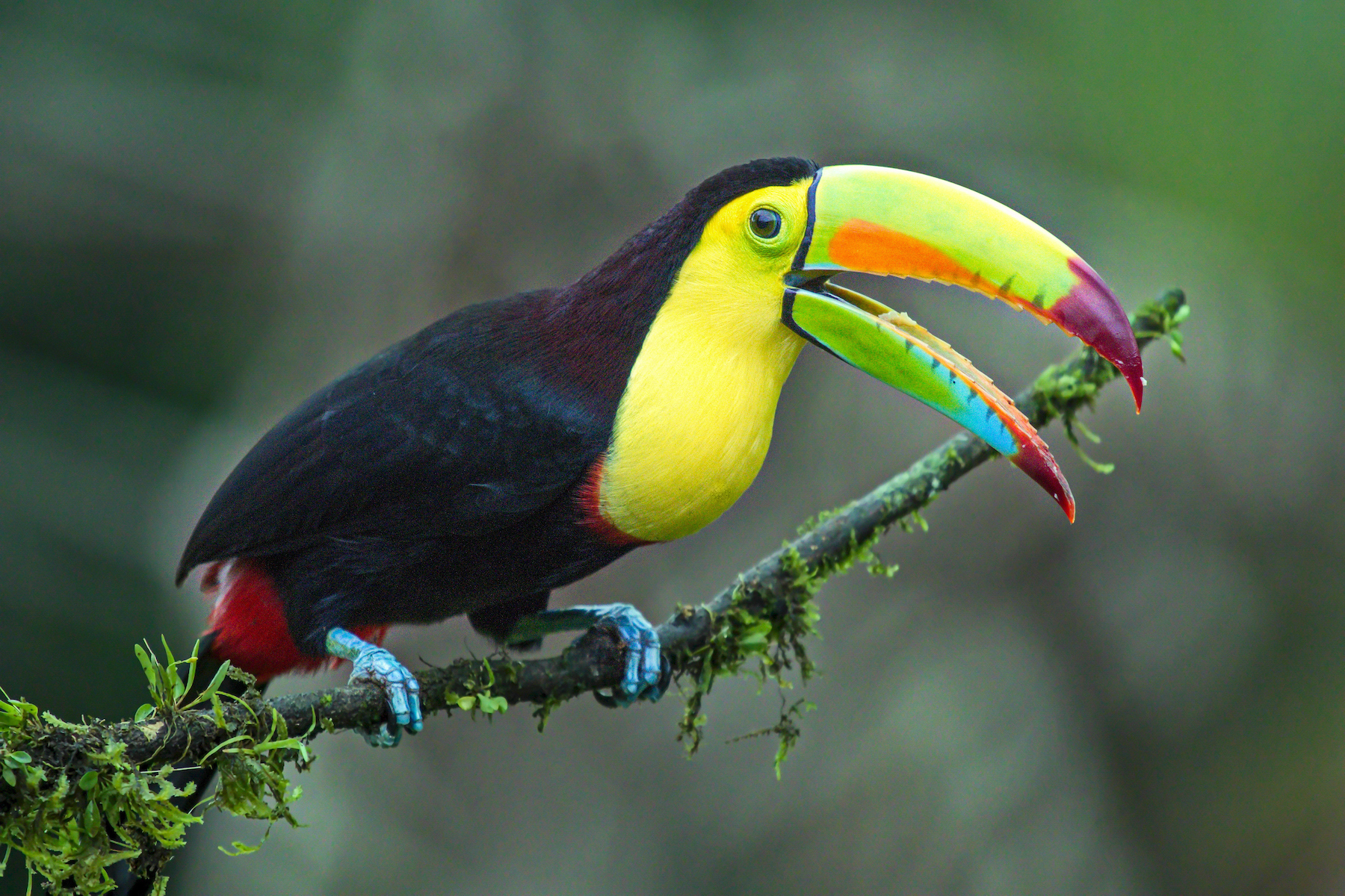 Keel-billed Toucan by Edward Munoz