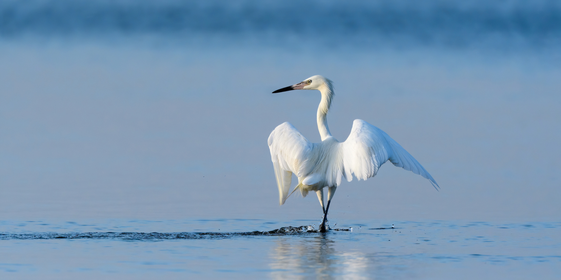 Reddish Egret by Craig Goettsch