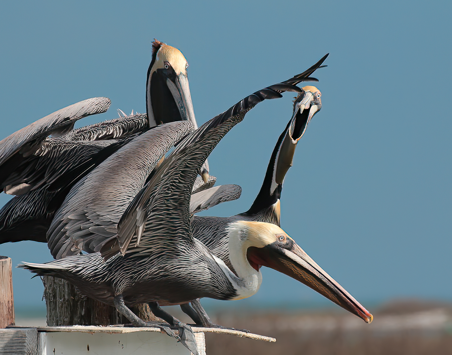 Brown Pelicans by Terry Rutledge