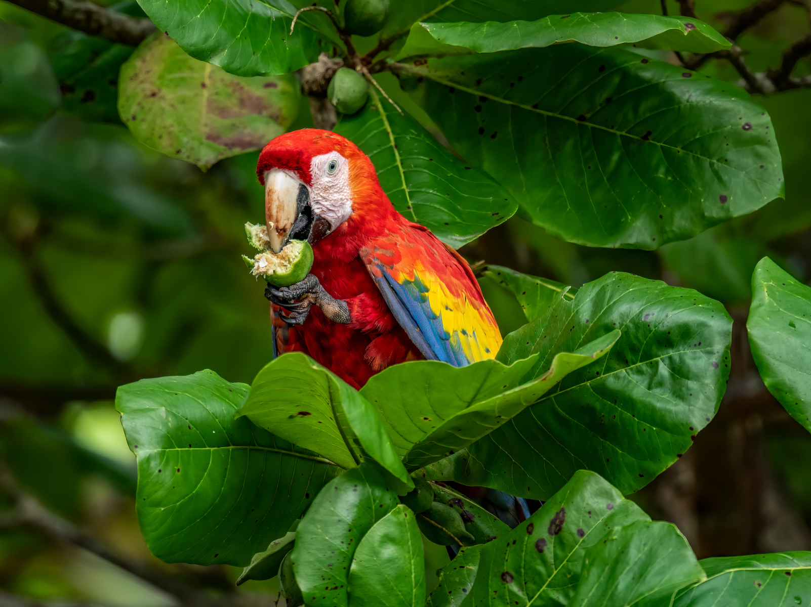 Scarlet Macaw by Cookie Segelstein