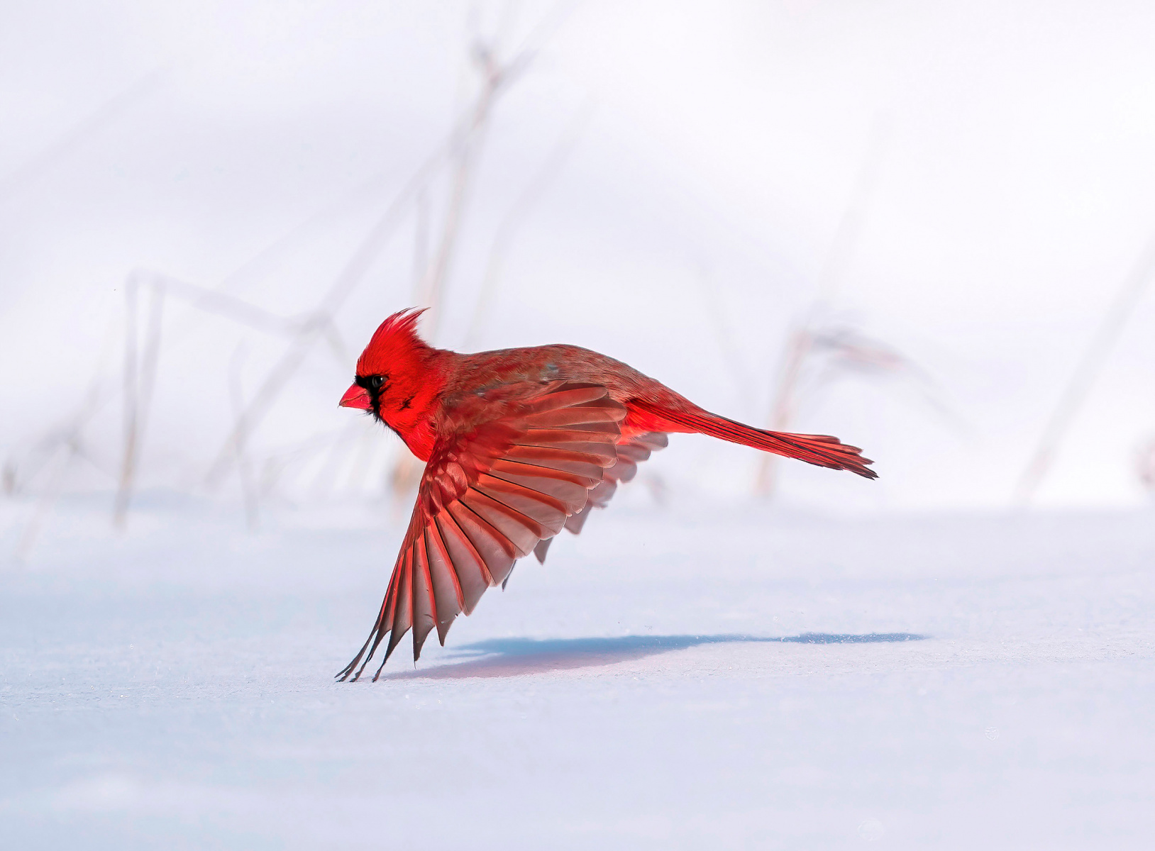 Professional Award Winner: Northern Cardinal