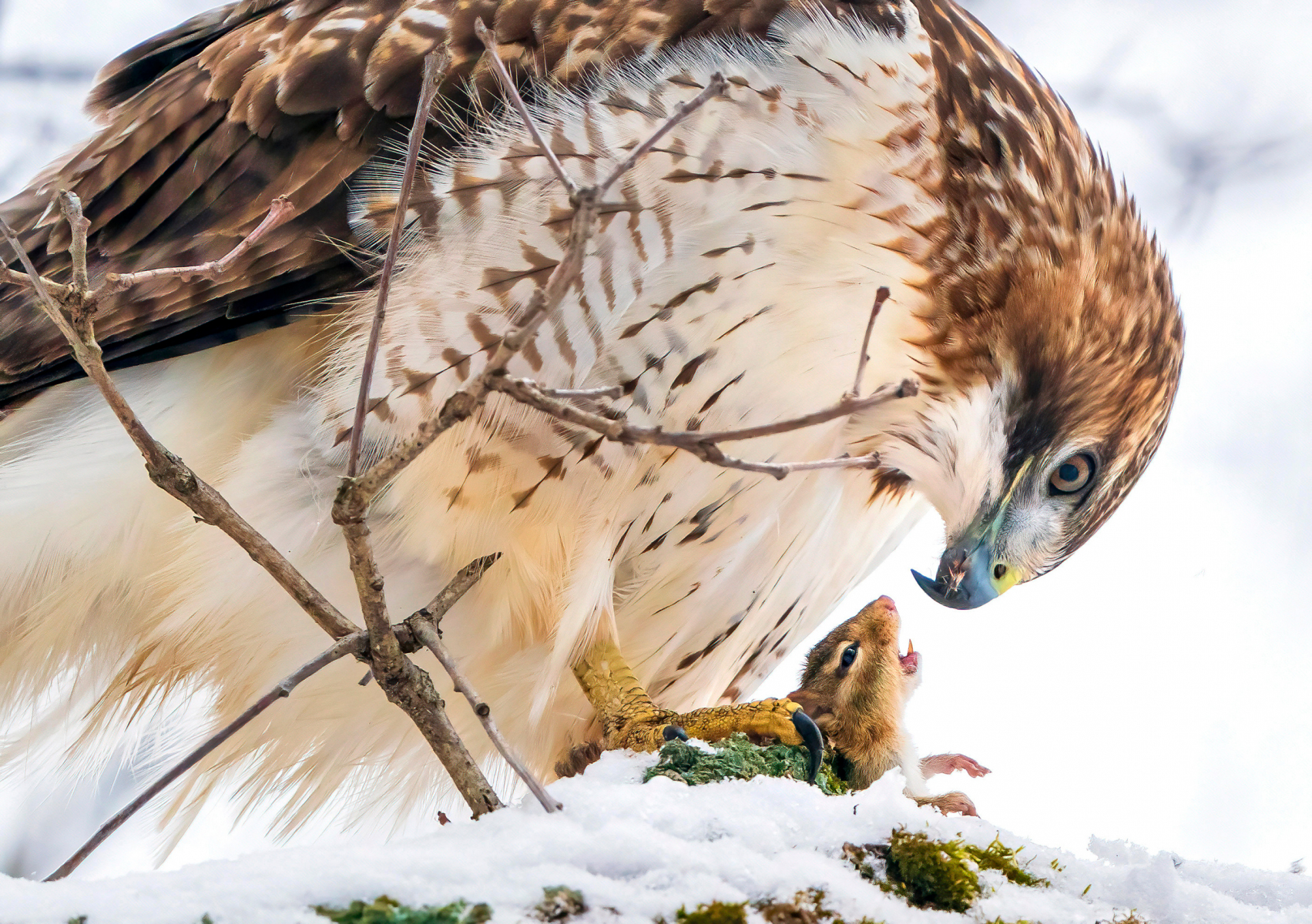Professional Honorable Mention: Red-tailed Hawk