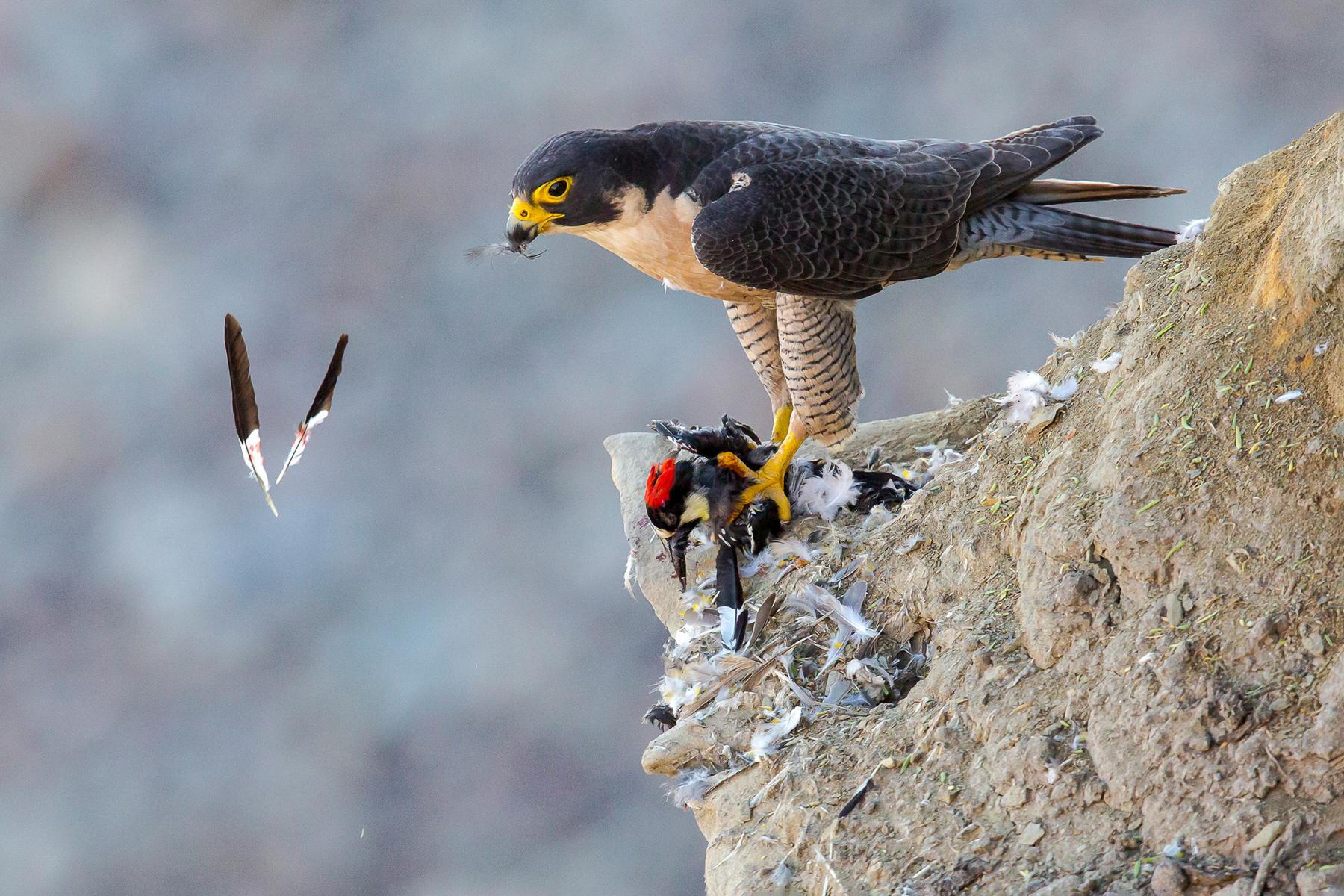 Amateur Honorable Mention: Peregrine Falcon