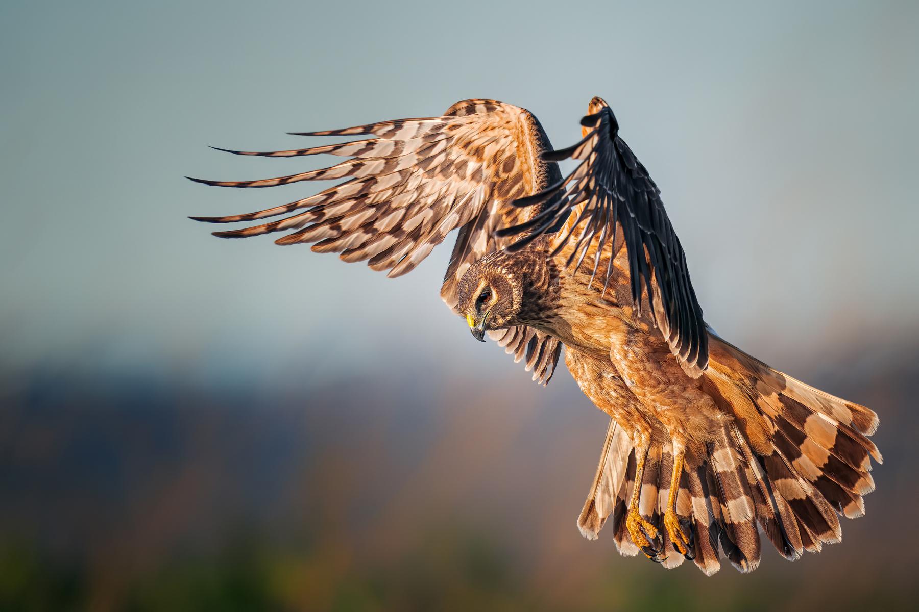 Female Bird Prize: Northern Harrier