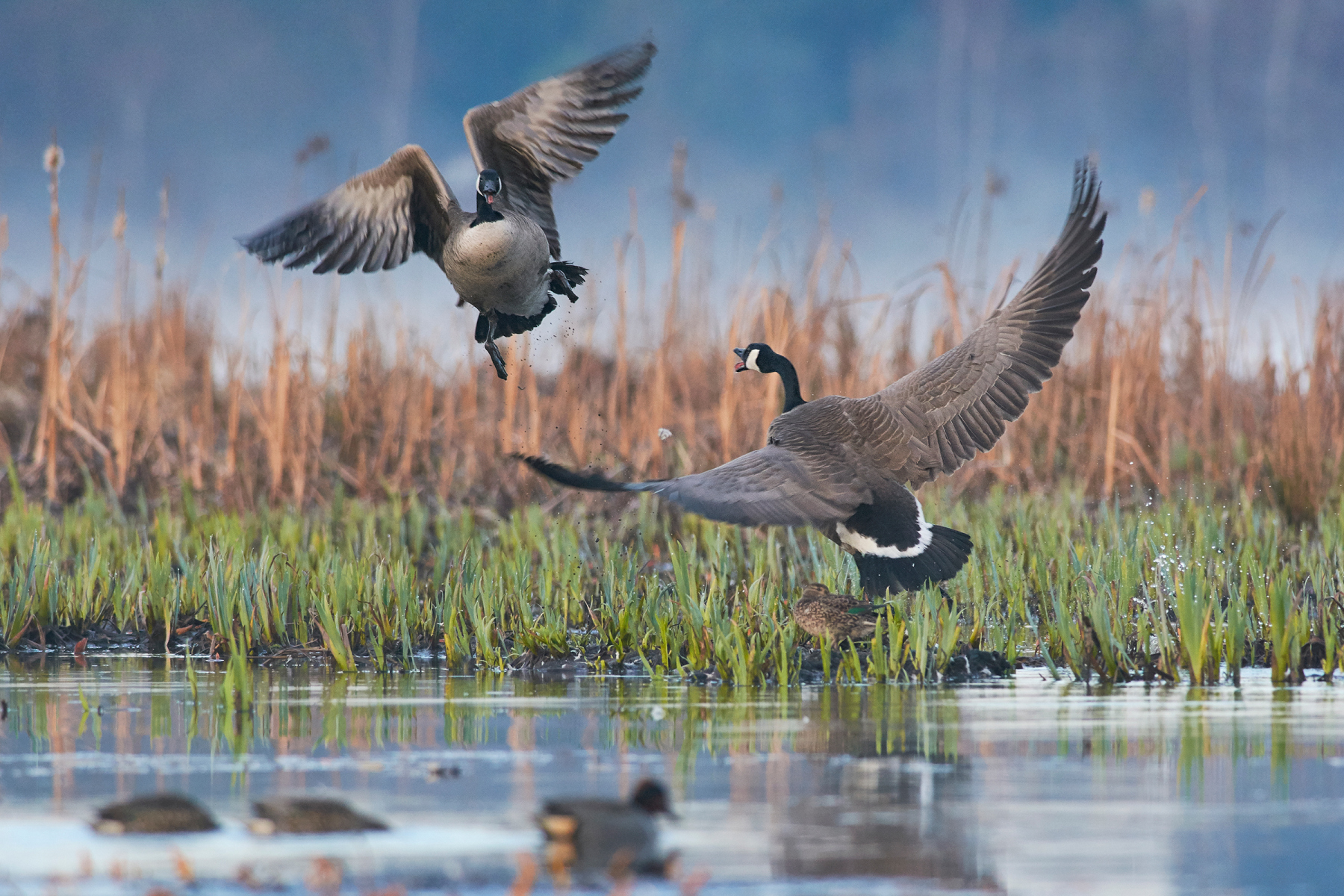 Youth Honorable Mention: Canada Goose