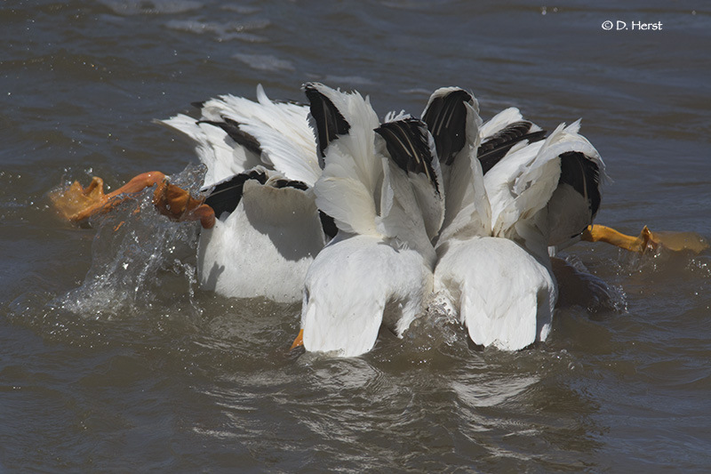 Pelican-fishing
