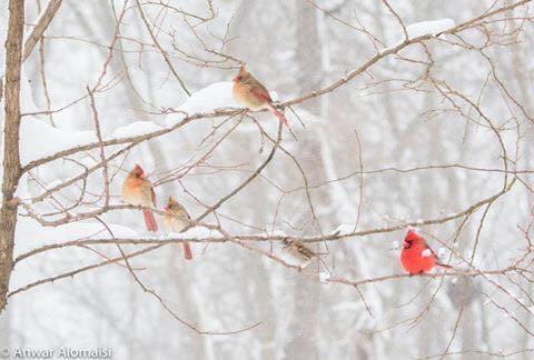 A winter flock of cardinals
