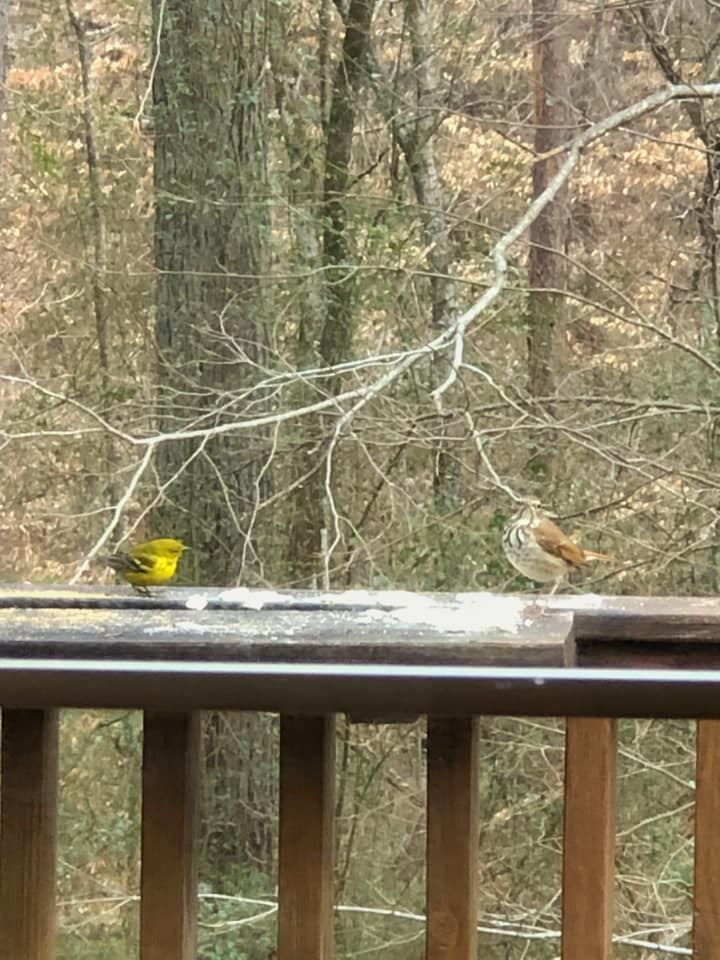 Pine Warbler and Wood Thrush