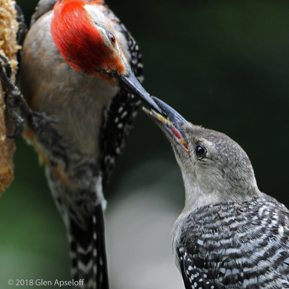 Red-bellied Woodpeckers