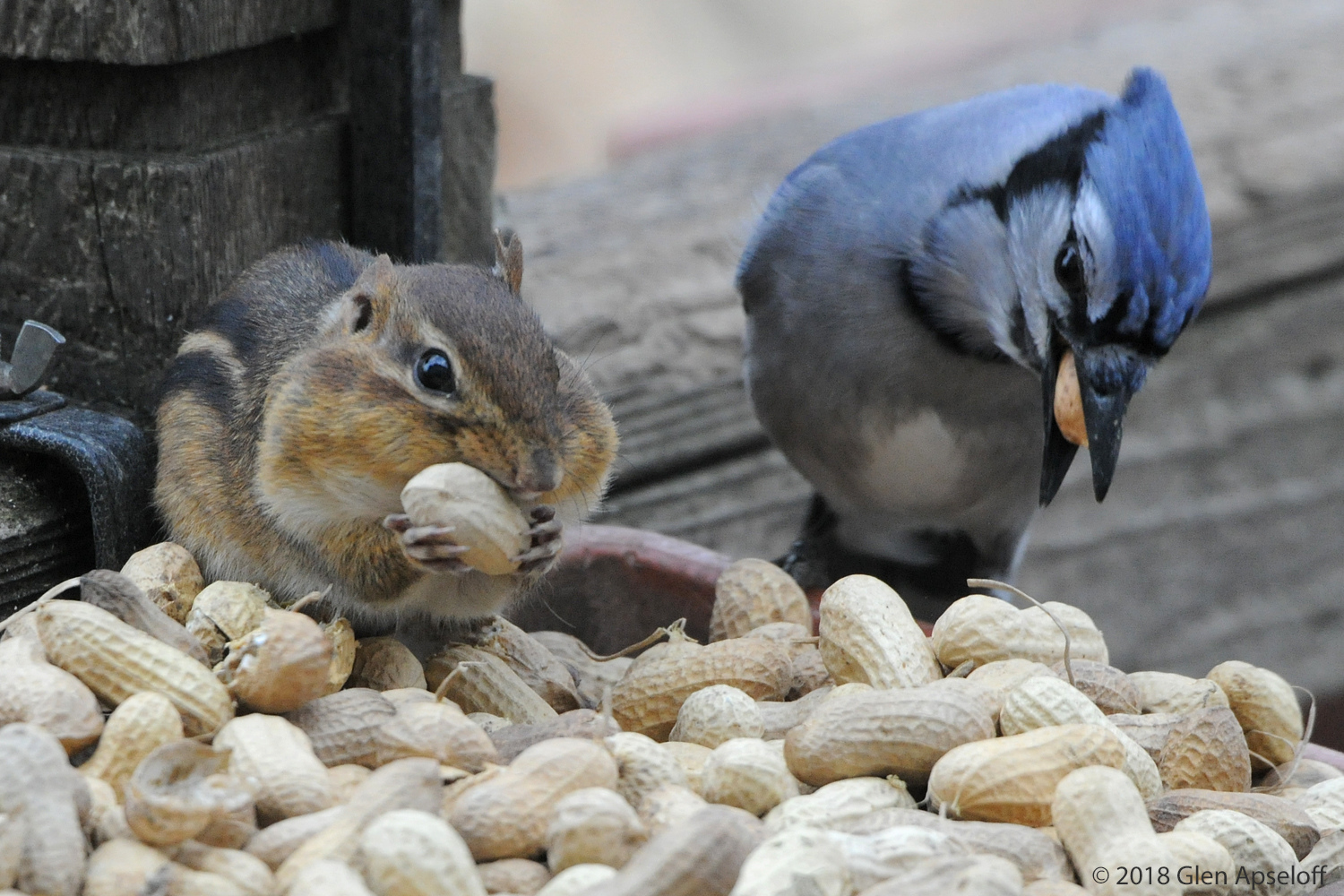 Chipmunk and Blue Jay