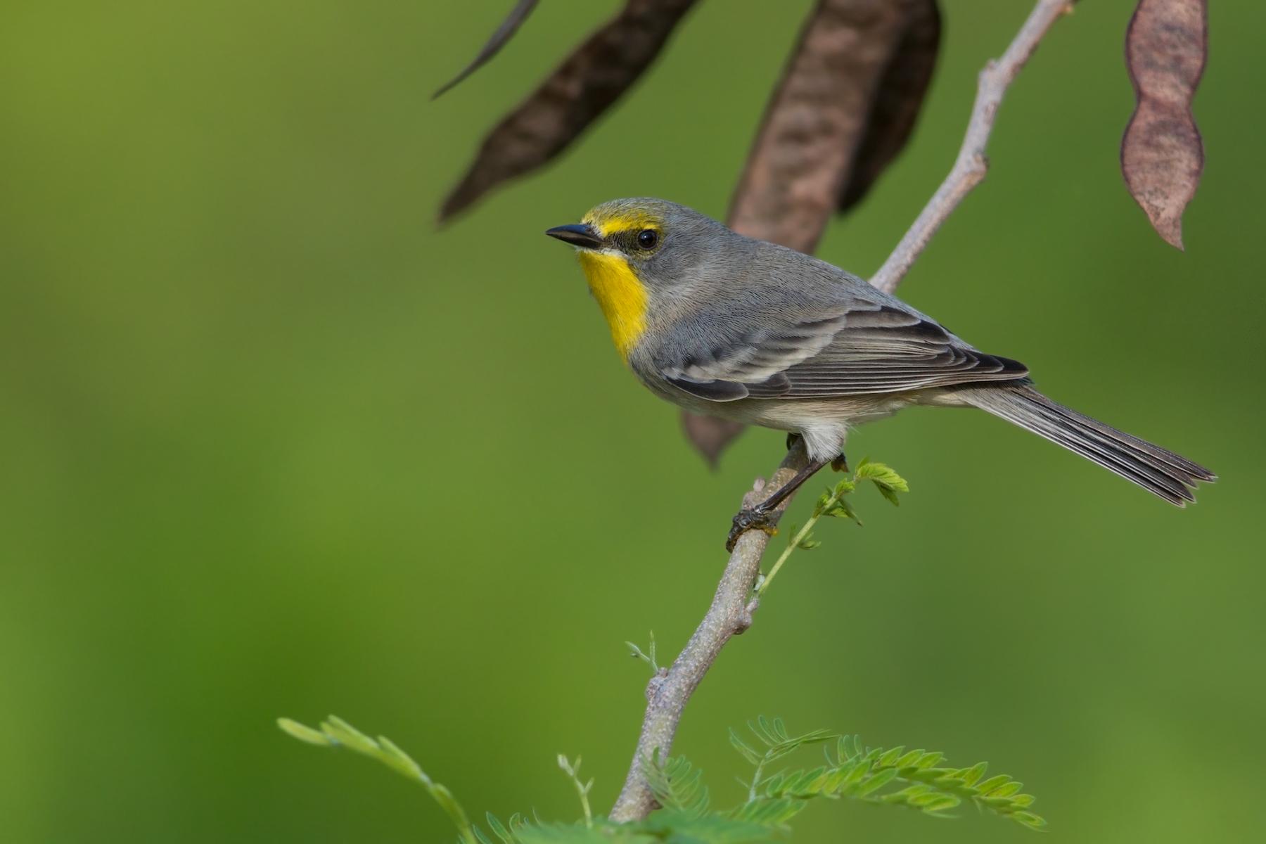 Olive-capped Warbler