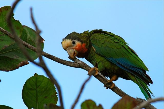 Bahama (Abaco) Parrot