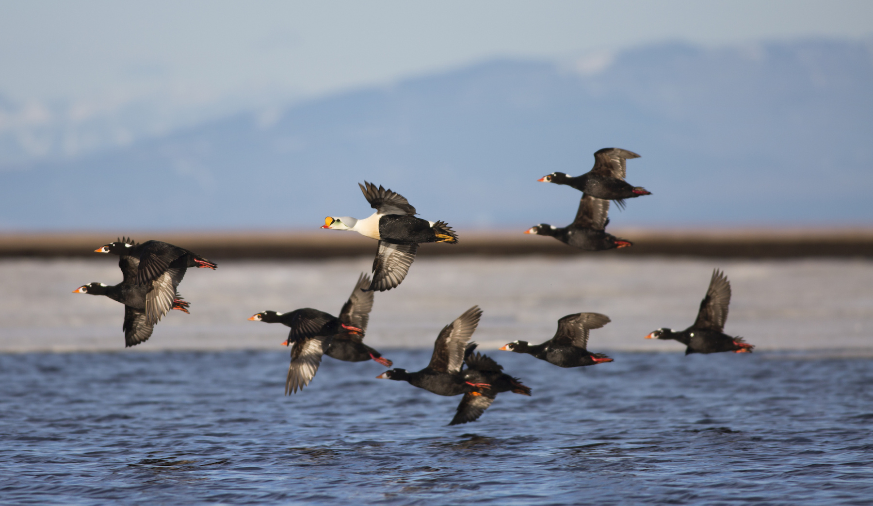 King Eider and Surf Scoters