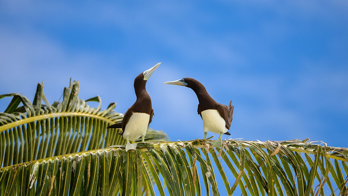 5. Brown Booby
