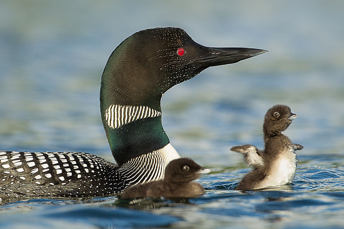 3. Common Loon