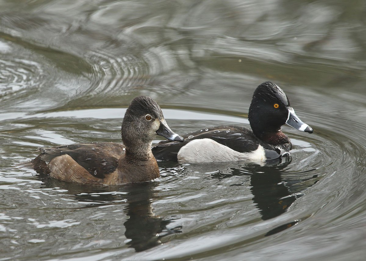 1. Ring-necked Duck