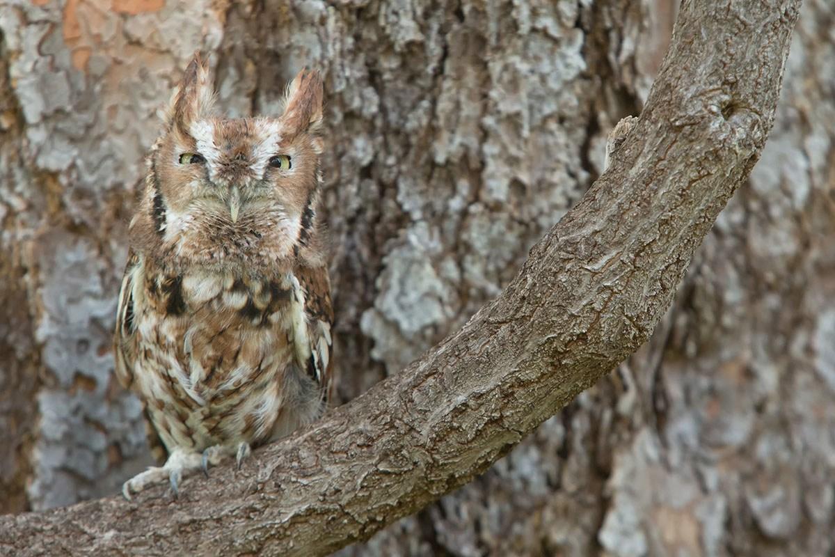 10. Screech-Owl